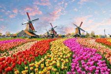 Camp de flori Olanda